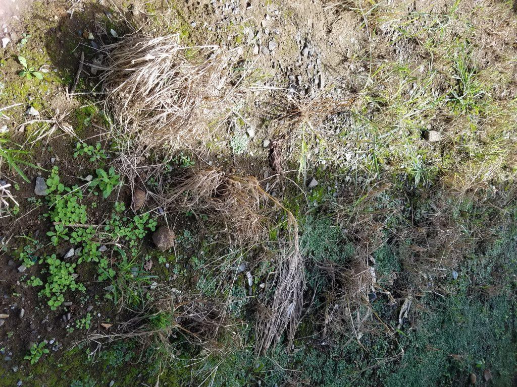オヒシバに除草剤バスタ